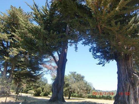 Bartholomew Park Winery: ワイナリー内にある大きな木
