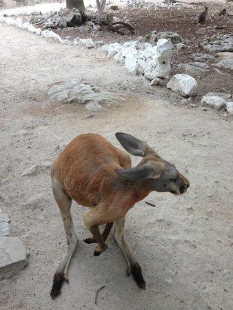 Bel Air Collection Xpu Ha Riviera Maya: Walk in zoo had hopping kangaroos!  Very friendly too!