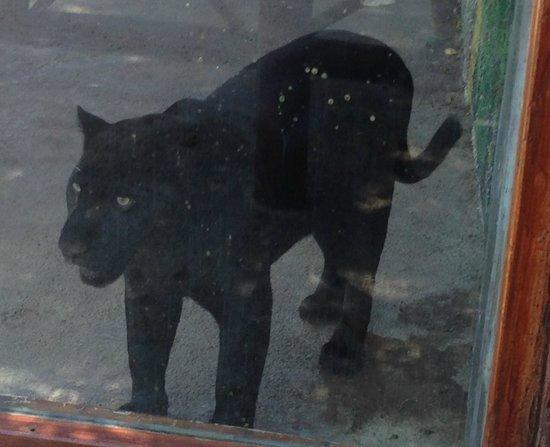 Bel Air Collection Xpu Ha Riviera Maya: Poor big cats stuck in little enclosures