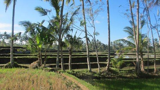 Puri Sunia Resort: Rice paddy fields..