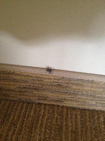 Best Western Plus Carmel Bay View Inn: Beware of spiders