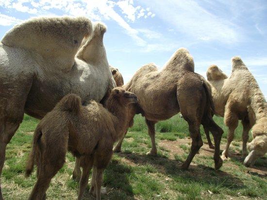 Pampas Safari: camelos