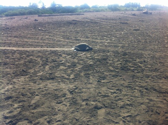 Rayos Del Sol: One of the hundreds of Turtles at the Beach Down the Hill