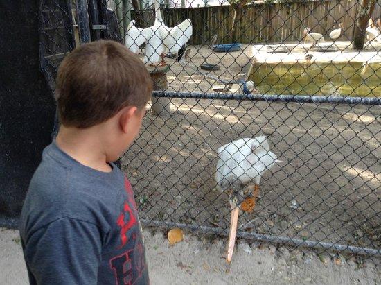Seaside Seabird Sanctuary : White American Pelican