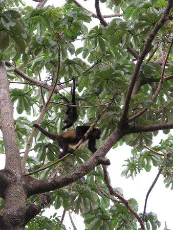 Iberostar Tucan Hotel : Monkeys are Plenty