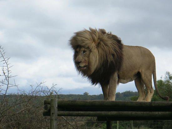 Seaview Lion Park: Leão fazendo pose pra foto!