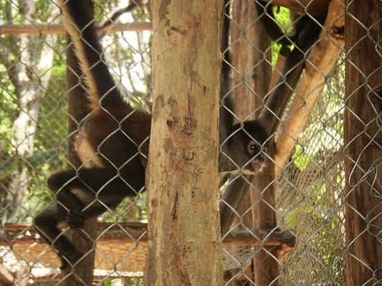 The Jungle Place - Tours: Spider Monkey at The Jungle Place