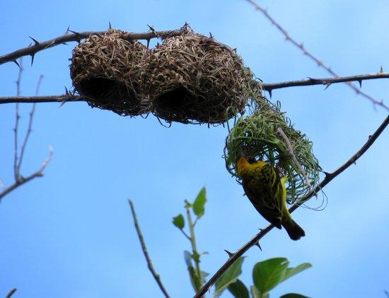 Le Peninsula Bay Beach Resort & Spa: Seraducap birds in the trees in the carpark
