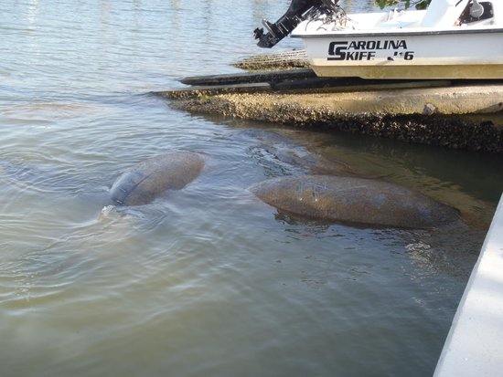 Jensen's Twin Palm Cottages and Marina: manatees