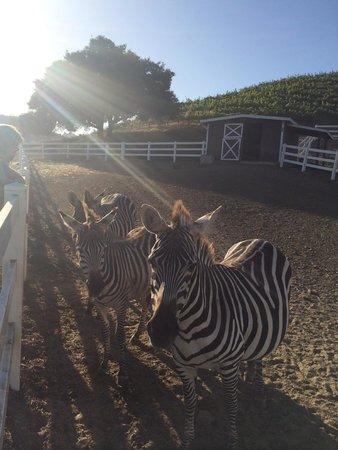 Malibu Wine Safaris : Zebra feeding