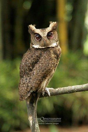Philippine Scop's Owl on a Student Volunteer's Glove