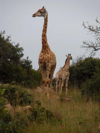Badgerleur Bush Lodge: The newborn baby giraffe, Dixi