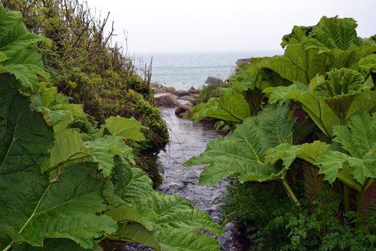 Stream bordered by gunnera drains into the sea at Lamorna Cove