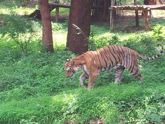 Visakhapatnam Zoo: Tiger