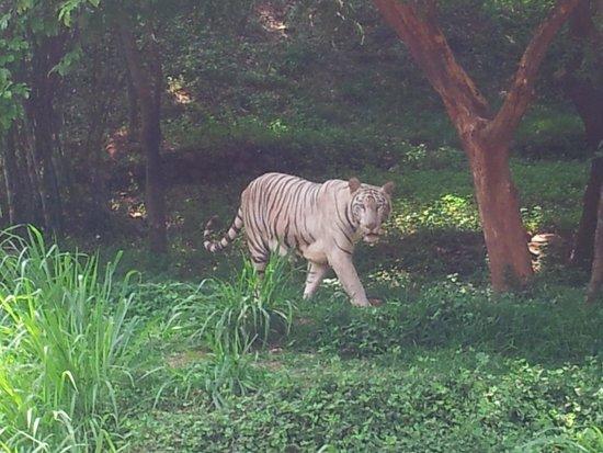 Visakhapatnam Zoo: White tiger
