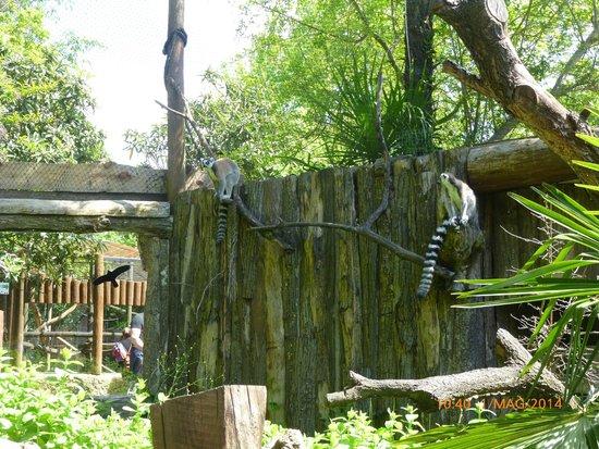 Giardino Zoologico di Pistoia : lemuri