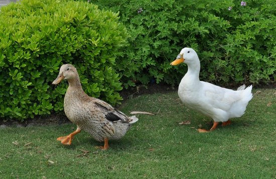 D-Hotel Maris: Couple of funny ducks - permanent lovely guests