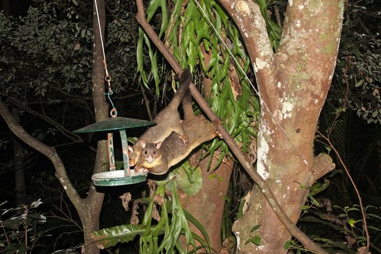 Narrows Escape Rainforest Retreat: Possums by our veranda