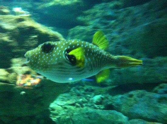 Aquarium de Paris - CineAqua: pesce palla