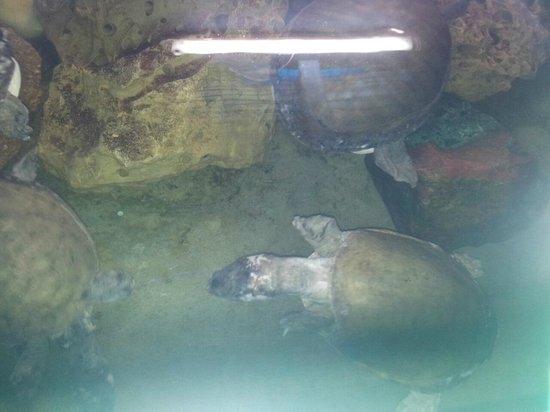 Matsyadarshini Aquarium: Turtle