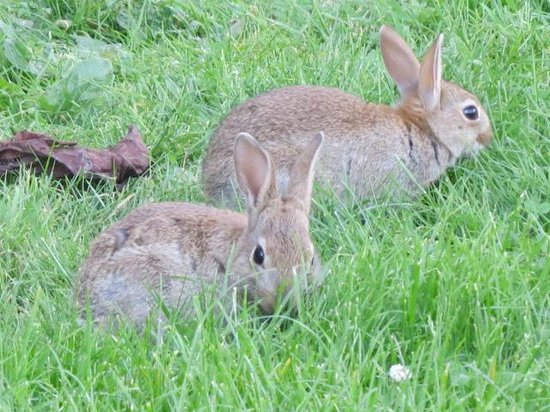 Treacle Mine: Resident rabbits