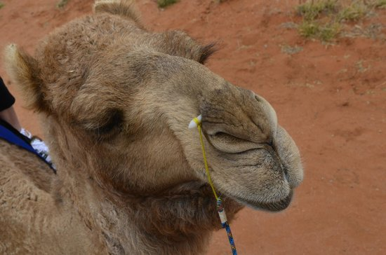 Camels Australia: Just checking we are okay at the back