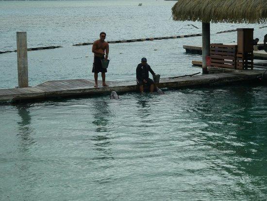 InterContinental Moorea Resort & Spa : delfines