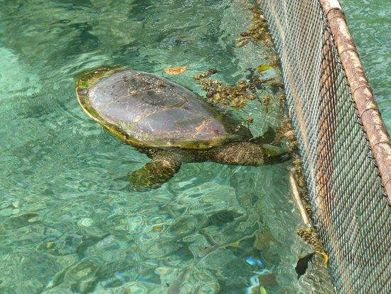 InterContinental Moorea Resort & Spa : tortugas