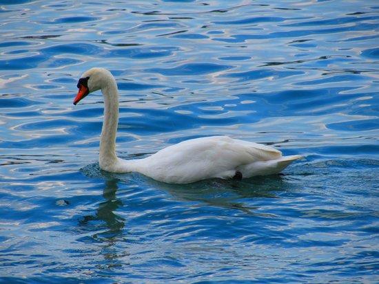 Jet d'Eau: Ganso no lago