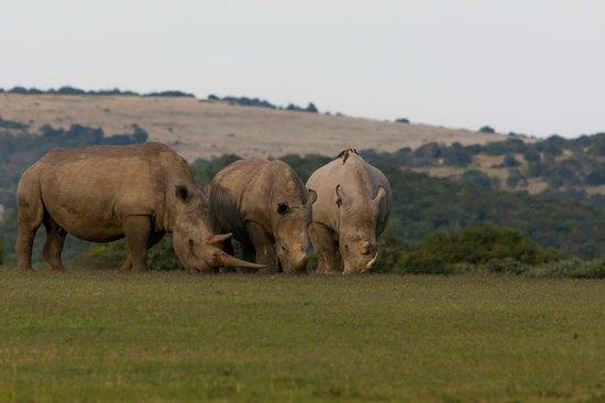Shamwari Game Reserve Lodges : Trio of Rhinos