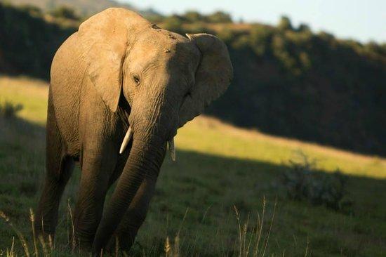 Shamwari Game Reserve Lodges: Elephants at dawn
