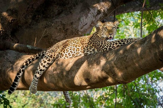 Tena Tena Camp: Leopard - very common in South Luangwa National Park
