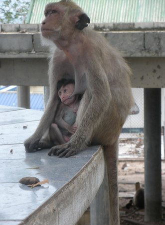 Chopsticks Hill (Khao Takiab): Mamas Boy