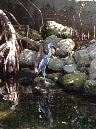 Capt. Sterling's Everglades Tour: Blue Heron