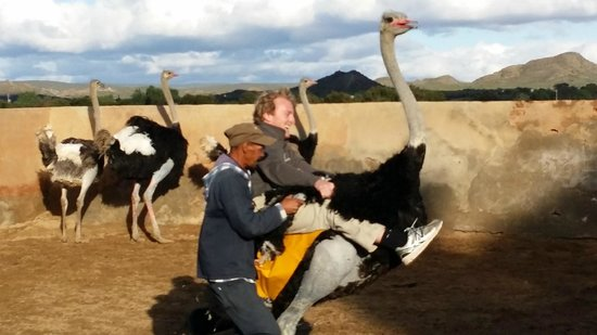 Highgate Ostrich Show Farm: Ostrich rides are a highlight at Highgate !