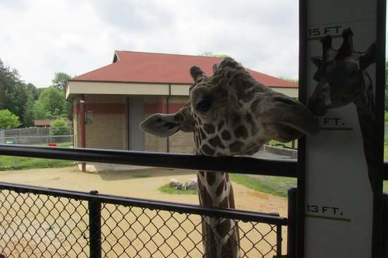 NEW Zoo & Adventure Park: Giraffe is waiting for food