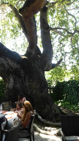 Gjoko Javor Mrzenci: 700 ys old tree