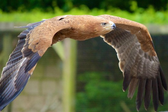 Tawny Eagle In Flight Picture Of Hawk Conservancy Trust Andover