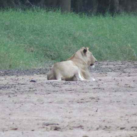 Rhino River Lodge: lioness