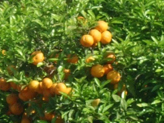 Il Nido Hotel Sorrento: Fresh oranges