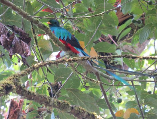 Los Quetzales Lodge & Spa : Quetzal!! Right off the front porch of Cabana 4