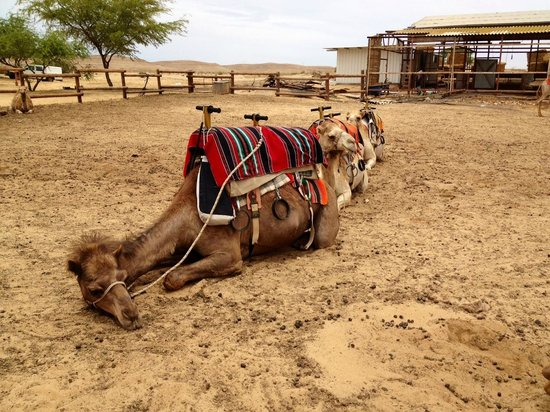 Negev Camel Ranch: This is Golda