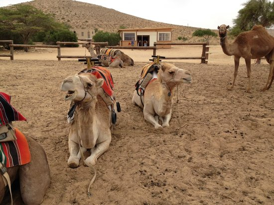 Negev Camel Ranch: Our two camels