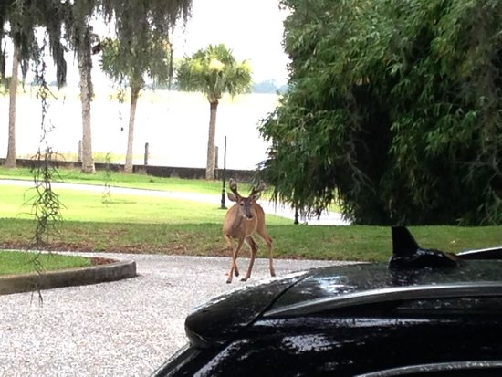 Jekyll Island Club Resort: Wildlife everywhere - deer, raccoons, sea turtles