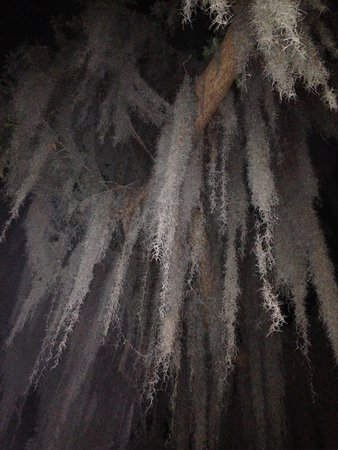 Jekyll Island Club Resort: Moss hanging from trees (night)
