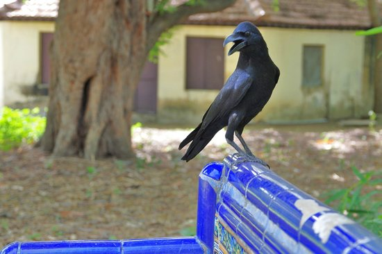 The Huddleston Gardens of Theosophical Society : The raven...
