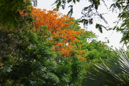 The Huddleston Gardens of Theosophical Society : Fire tree