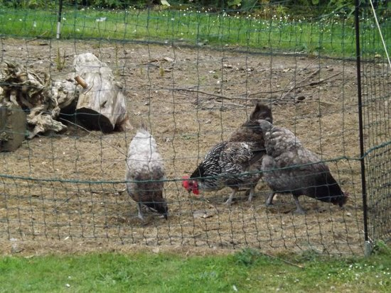 Kent House B&B: Chickens at the bottom of the garden