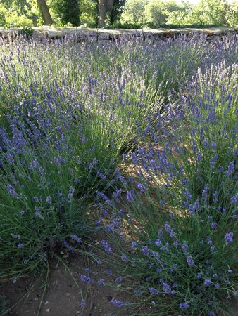 Une Sieste en Luberon : Lavenders in the garden by the pool.