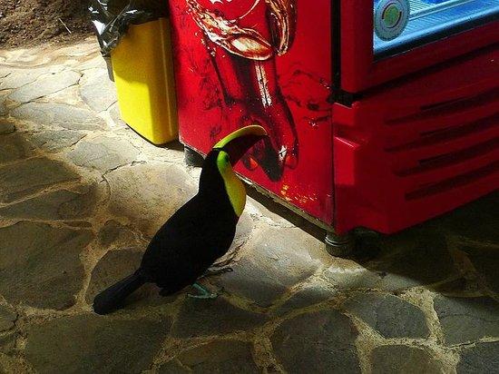Fundación Jaguar Rescue Center: Feisty toucan.